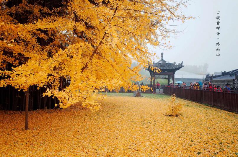 今年古观音禅寺赏银杏需网络预约 每天最多7200人