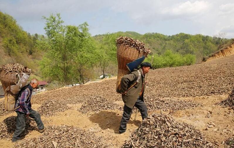 秦岭大山里的劳动者 八旬老哥俩农活不输壮劳力