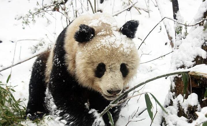 惊喜!不到3公里偶遇2只野生大熊猫